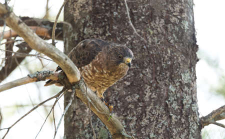 redtail: Beautiful young Red-Tail hawk on a tree branch, rests momentarily after having just consumed a fresh catch. Stock Photo