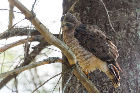 Beautiful young Red-Tail hawk on a tree branch, fluffs up and ruffles his feathers after having just consumed a catch. Stock Photo