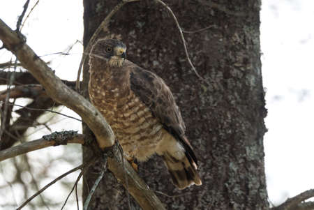 redtail: Beautiful young Red-Tail hawk on a tree branch, fluffs up and ruffles his feathers after having just consumed a catch. Stock Photo