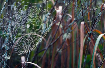 Wet spider web in a marsh.  Silk tapestry supporting droplets of water as they form from fog and mist.