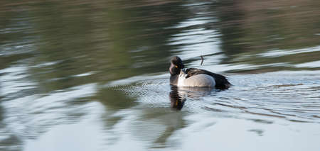 Male (drake) Ring-necked duck (Aythya collaris) in spring, preens himself while swimming along in a northern Canada lake .