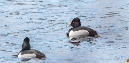 Male (drake) Ring-necked duck (Aythya collaris) in spring.  Black & white duck swims along visiting northern lakes & ponds in breeding season.