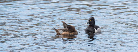 Female Ring-necked duck (Aythya collaris) in spring, preens herself while swimming along with her mate in a northern Canada lake .