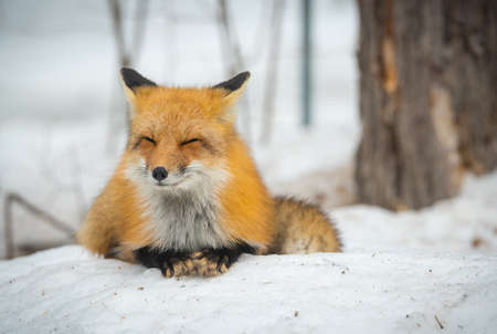 Red Fox, (Vulpes vulpes), healthy specimen in his habitat in the woods, relaxes, lays down and seems to pose for the camera. 스톡 콘텐츠