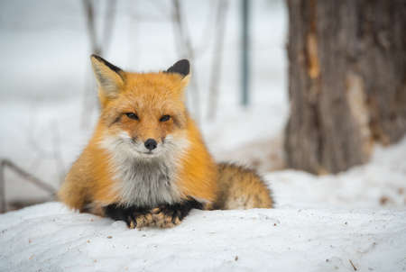 Red Fox, (Vulpes vulpes), healthy specimen in his habitat in the woods, relaxes, lays down and seems to pose for the camera. Stock Photo