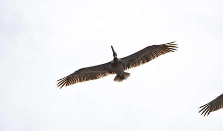 Brown Pelican (Pelecanus occidentalis) flying overhead in bright sky along coastal waters in Panama.