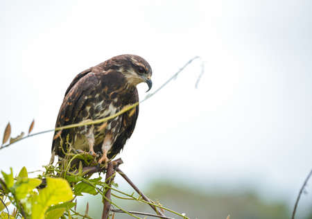 Immature common Black hawk (Buteogallus anthracinus)  , bird of prey in his native habitat.