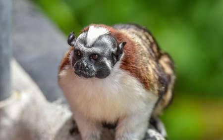 Geoffroy's tamarin (Saguinus geoffroyi).  A type of small monkey, found in   Colombia.