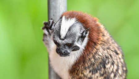 Geoffroys tamarin (Saguinus geoffroyi).  A type of small monkey, found in  Colombia. Stock Photo