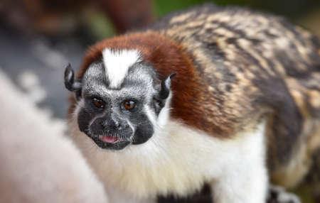 Geoffroys tamarin (Saguinus geoffroyi).  A type of small monkey, found in   Colombia.