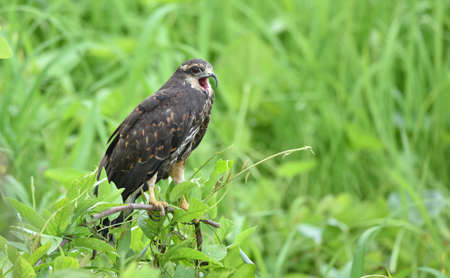 Immature common Black hawk (Buteogallus anthracinus)  , bird of prey in his native habitat of lush green marshlands.