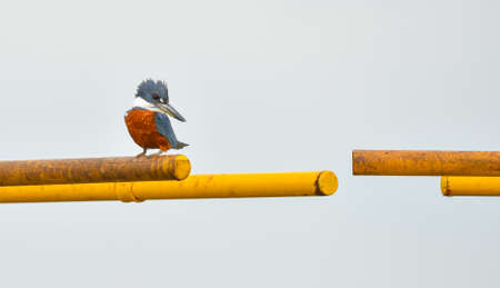 Ringed Kingfisher bird (Megaceryle torquata) sits on a canal gate bar