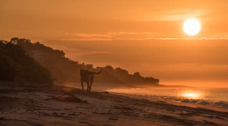 Lonely dog on empty beach in golden sunrise.  A lonely dog trots along an empty beach in early morning sunrise.