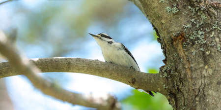 Female downy woodpecker perched on tree branch in spring.   This is the smallest specie of woodpecker in North America.