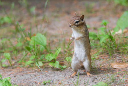Small Eastern (Tamias) chipmunk stands up on her hind legs to a get a better view.
