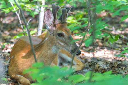 Young buck, white tailed deer lays down and seems to pose on the floor   of a springtime forest. Stock Photo