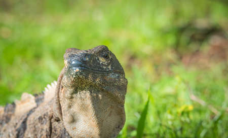 Large Black Iguana (Ctenosaura similis) sunning himself in a grassy field.