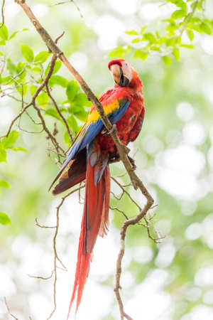 Scarlet macaw (Ara macao), large red, yellow, and blue Central and South American parrot.  Member of large group of Neotropical parrots called macaws.