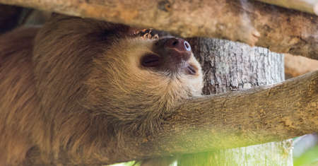 Two toed sloth.  This one, Choloepus didactylus, sleeps upside down under the cover of large tree.