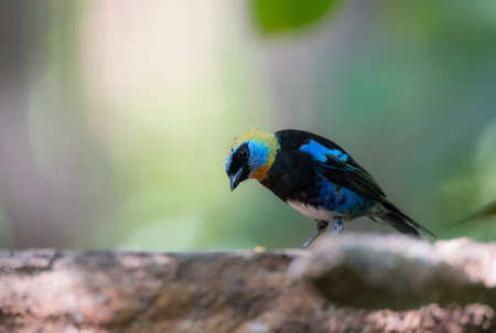 Golden hooded tanager (Tangara larvata) is a medium-sized passerine bird.  Adult male has a golden head with black eyemask edged with violet blue above and below.