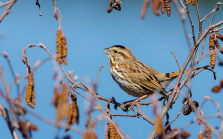 The song sparrow (Melospiza melodia) is a medium-sized American sparrow.  This one sings happily and endlessly on a warm, early spring day. Imagens