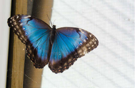 Common blue morpho butterfly (Morpho peleides).