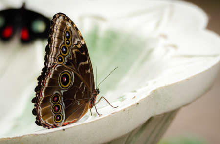 Common blue morpho butterfly (Morpho peleides) on a fountain, wings closed.  Found across Mexico and   Central America, it is distinguished by its brilliant black-tipped blue wings.