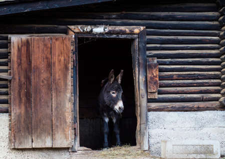 one donkey at the gate of the barn looks at what is happening in the yard of the farm
