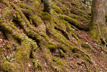 These are the roots of a very old tree on Mount Igman in Bosnia and Herzegovina, covered with moss. And if this is a picture of one part of natural beauty.