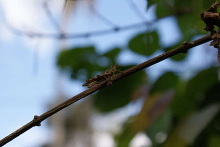 caelifera: Grasshopper on a twig Stock Photo