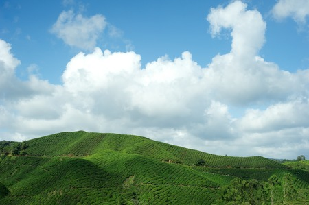 pahang: Tea Plantation at Cameron Highlands, Pahang, Malaysia Stock Photo