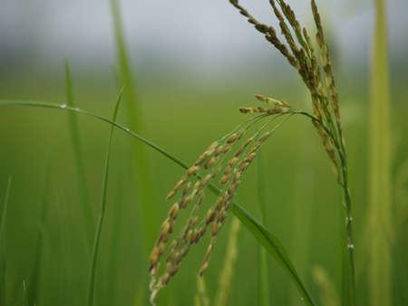 padi: Paddy plant