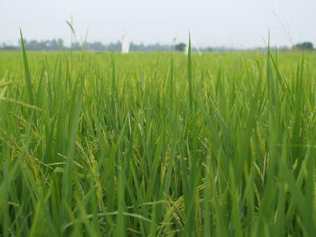 padi: Paddy Field in Perlis, Malaysia