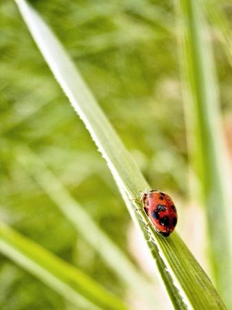 coccinellidae: Ladybug