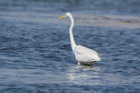 egret: Great White Egret Fishing