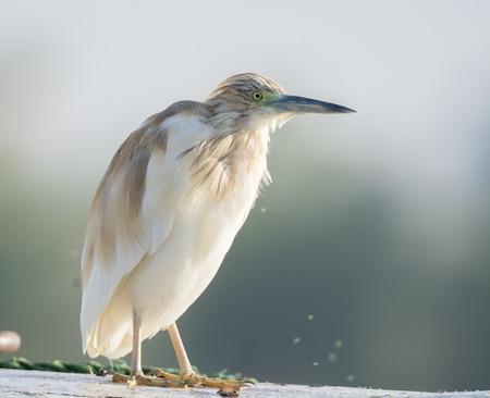 Squacco Heron bird Stock Photo