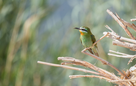 Blue Cheecked Bee Eater Bird Stock Photo