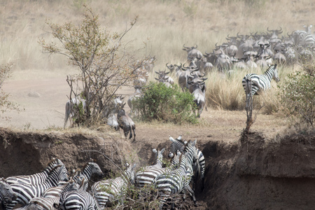 Africa Great Migration Stock Photo
