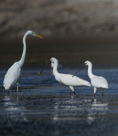 eurasian: Eurasian spoonbill Stock Photo