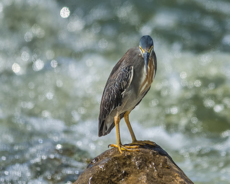 striated: Striated Heron