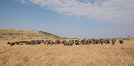 animal in the wild: Beautiful Herd in the nature of Masai mara ,kenya, africa