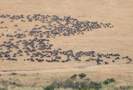 masai mara: Beautiful Herd in the nature of Masai mara ,kenya, africa
