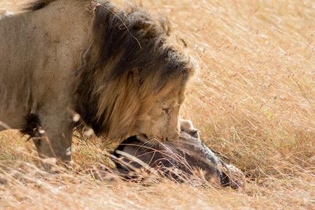 prey: Lion Eating a Prey in Masai mara Stock Photo