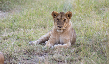 cubs: Lions pride and Cubs in Masai mara