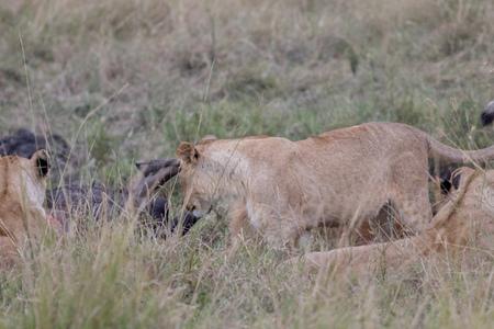 Lion Eating a Prey in Masai mara Standard-Bild