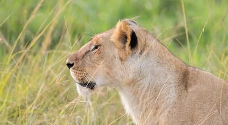 Lioness in the Wilderness of Masai mara , Kenya  ,Africa