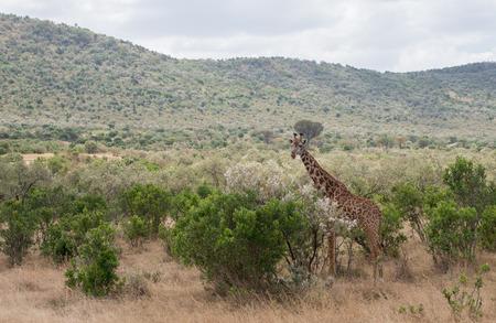 the mara: Girrafes in Masai mara