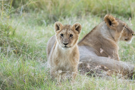 Lions pride and Cubs in Masai mara