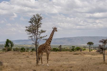 giraffa camelopardalis: Girrafes in Masai mara