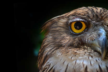 great horned owl Stock Photo - 115545937